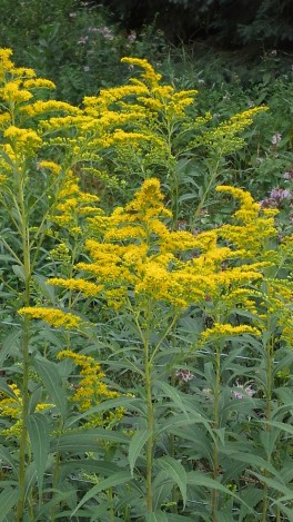 goldenrod-blooming