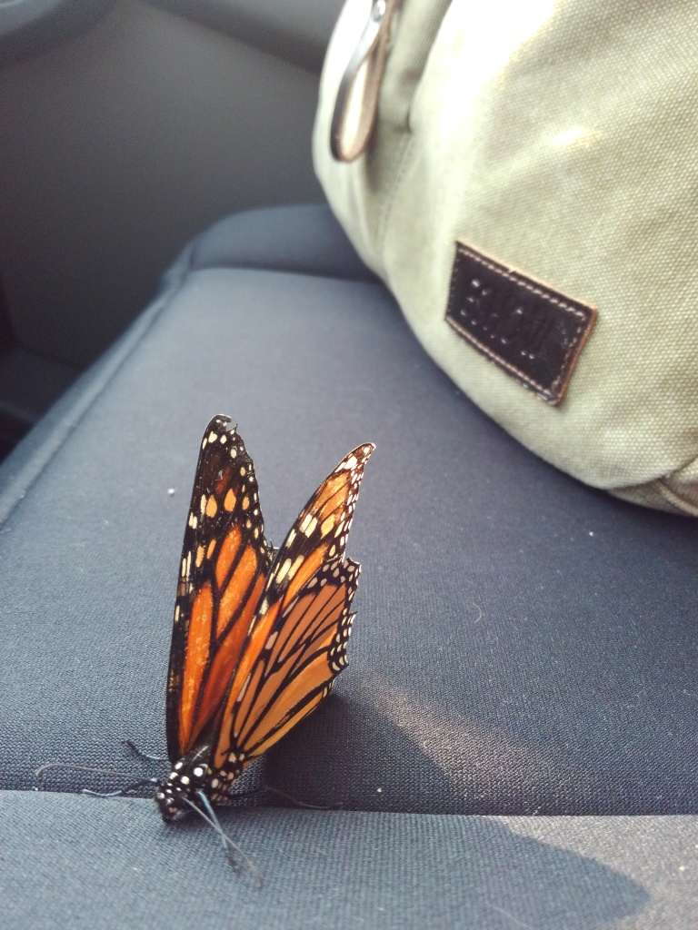 Monarch-Butterfly-rides-shotgun_Jessica-Woken-22Aug2018