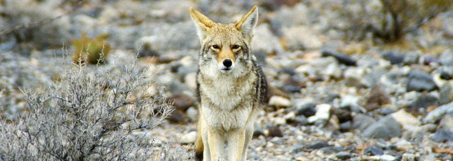 https://upload.wikimedia.org/wikipedia/commons/7/7e/California_Death_Valley_Coyote.jpg