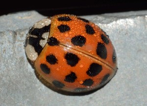 ladybug_insects_harmonia_axyridis-917291