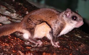 Southern-Flying-Squirrel