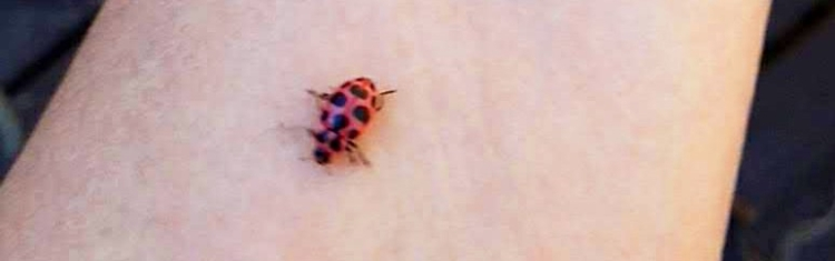 pink-spotted ladybeetle_Woken-Jessica_May2019