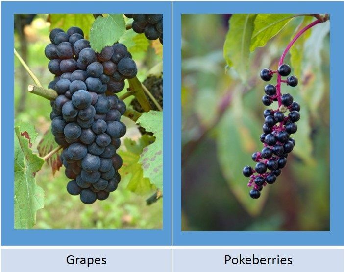 pokeberries-look-like-grapes-but-are-poisonous-3